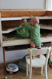 Kind reinigt Meerschweinkäfig