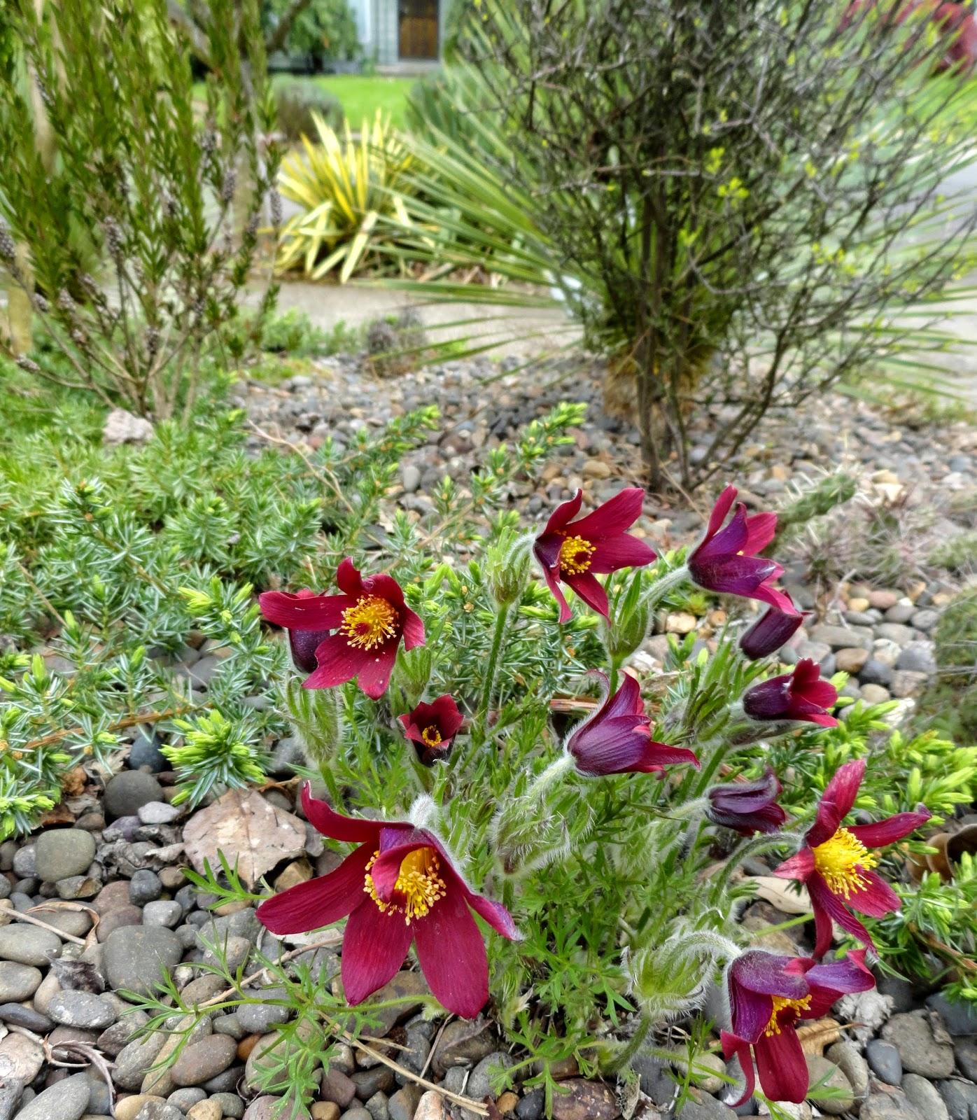 Danger Garden April Bloomday 2015