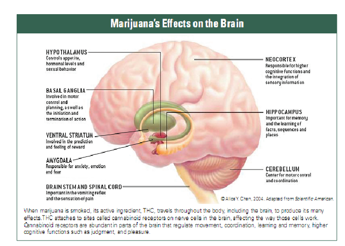 Short-Term and Long-Term Effects of Weed Marijuana