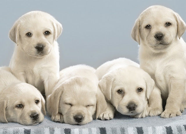 Litter Size of Labrador Retriever