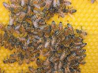 produzido do veneno de abelha O Apitoxina Alergen combate:  -Tosse Seca -Sinusites -Rinite -Asma -Bronquite -Amigdalite