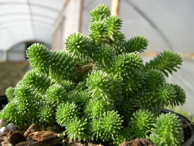 PlantWerkz: Miniature Joshua Tree - Sedum Multiceps