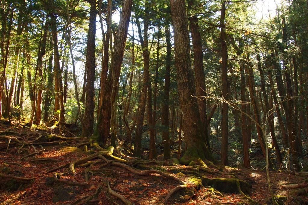 Bosque de Aokigahara, Japón.