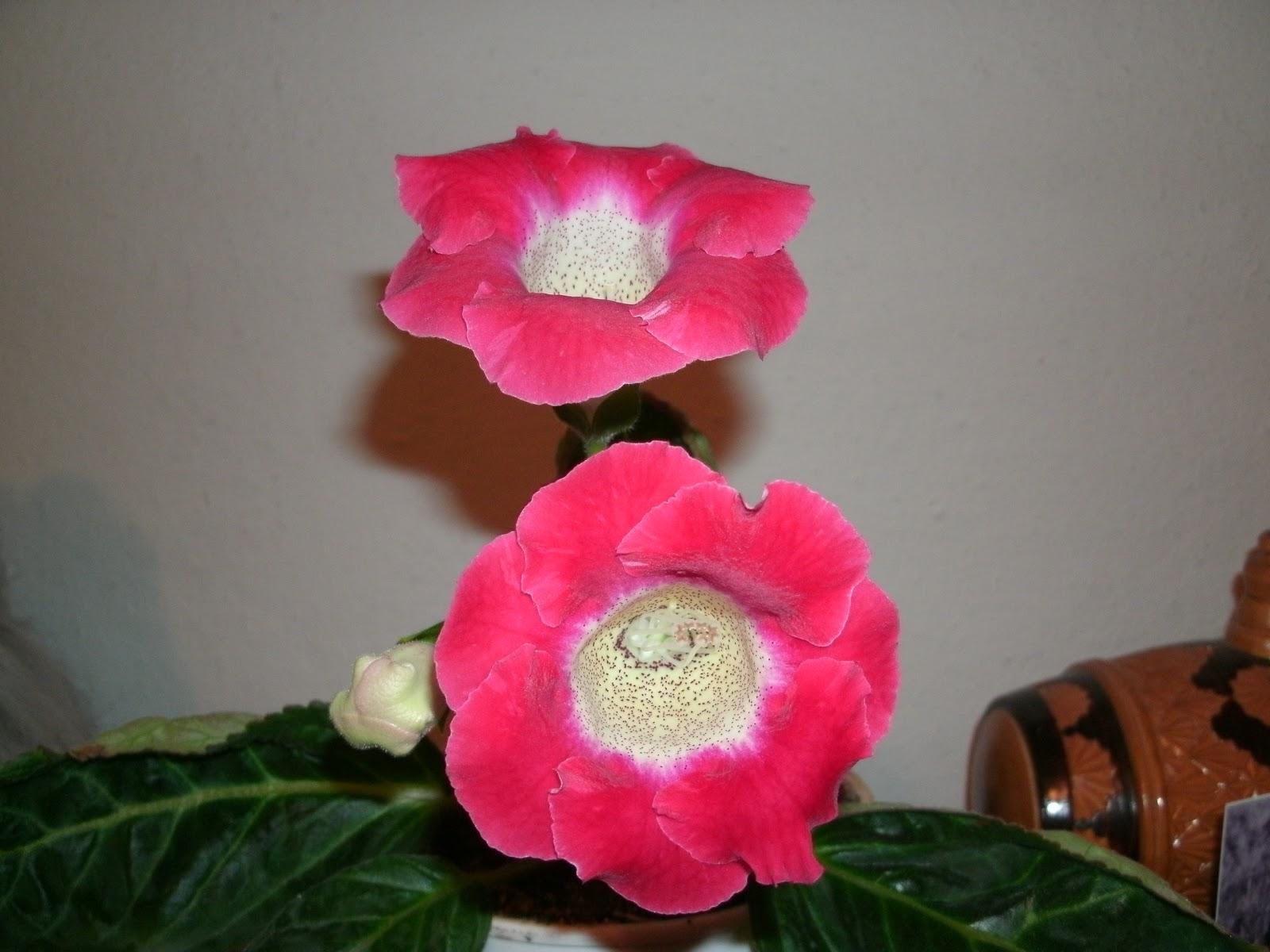 Цветок глоксиния - Комнатные цветы и растения, уход за ними в 87