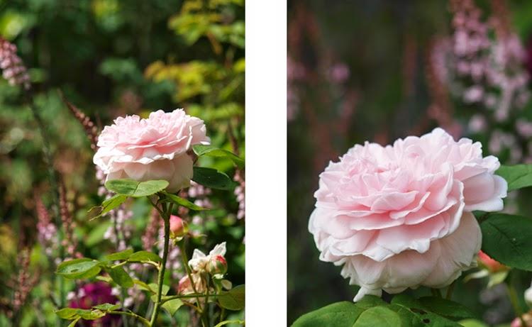 Lyserød duftende Austin-rose