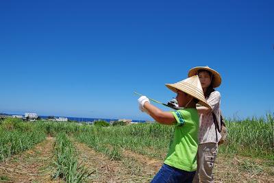 体験/観光 サトウキビ刈り 収穫体験
