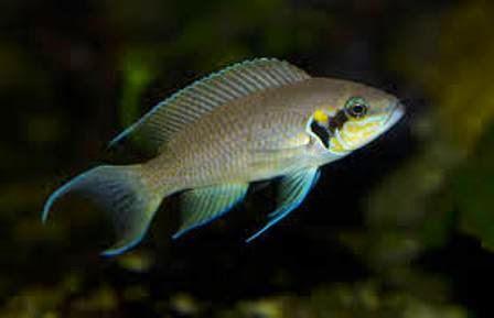Freshwater Aquarium Fish Species Brichardi Cichlid