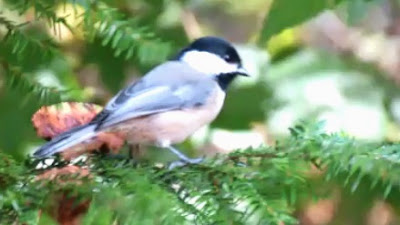 Black Capped Chickadee in Eastern Hemlock Tree