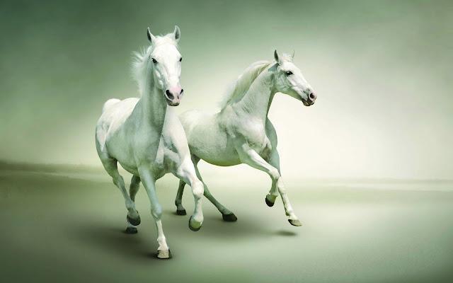 Two White Horses Run