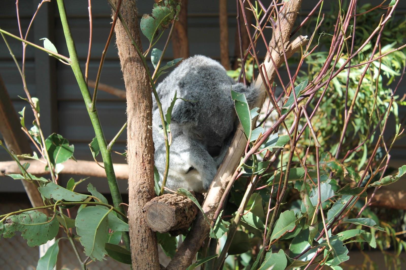 hvor mange unger kan en koala få