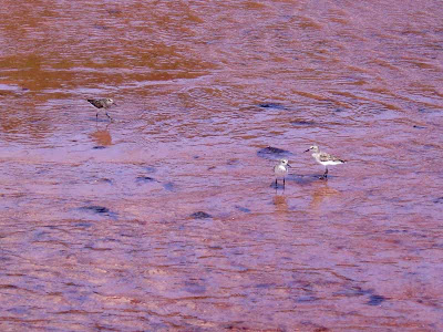 These shorebirds were having a field day running back and forth. I don't know if they were feeding or just playing!