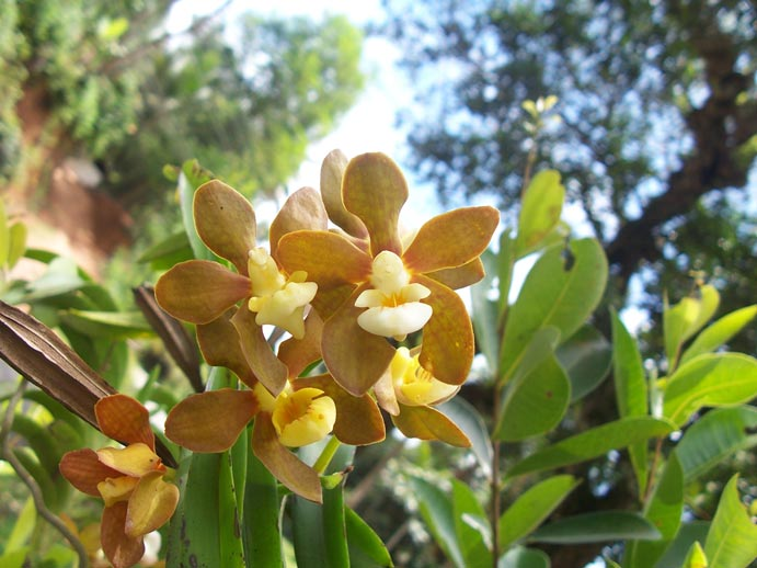 http://3.bp.blogspot.com/-b9dCrfloFvY/TbPnVF5WbPI/AAAAAAAABcw/vlO1UNct084/s1600/Vanda-thwaitesii-bloom.jpg