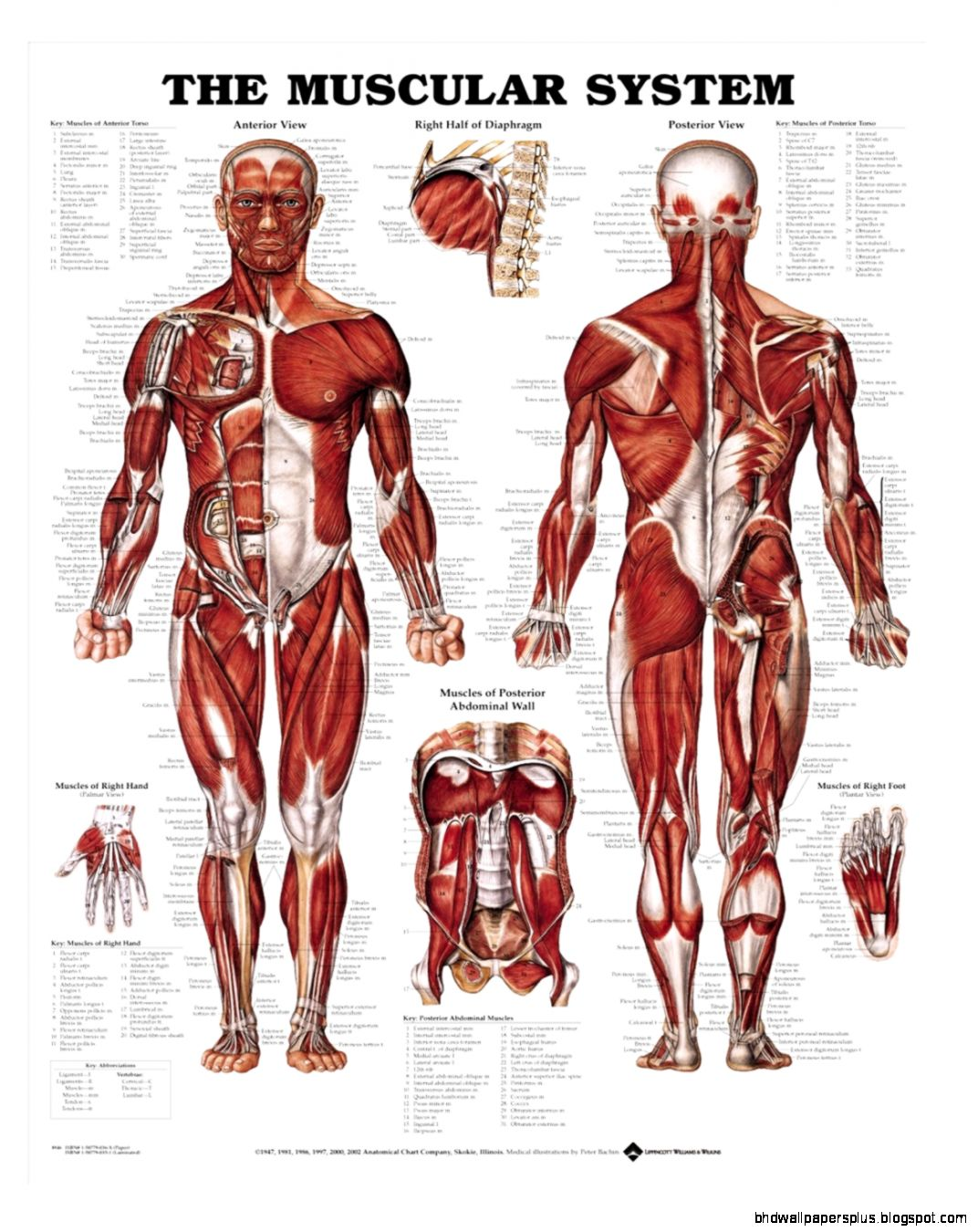 Muscle Anatomy Charts   Skeleton Anatomy Charts Page 1