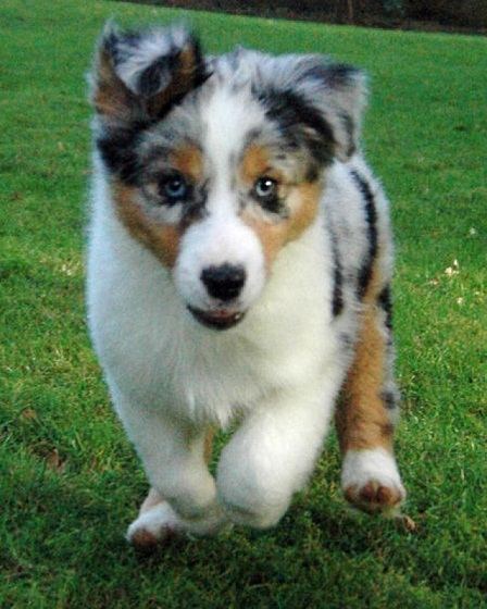 Australian Shepherd Puppy Wallpaper Desktop HD