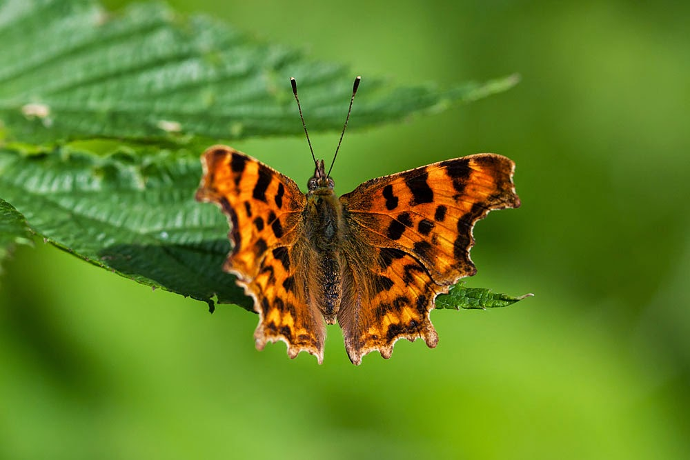 Comma - Linford Wood, Milton Keynes (2012)