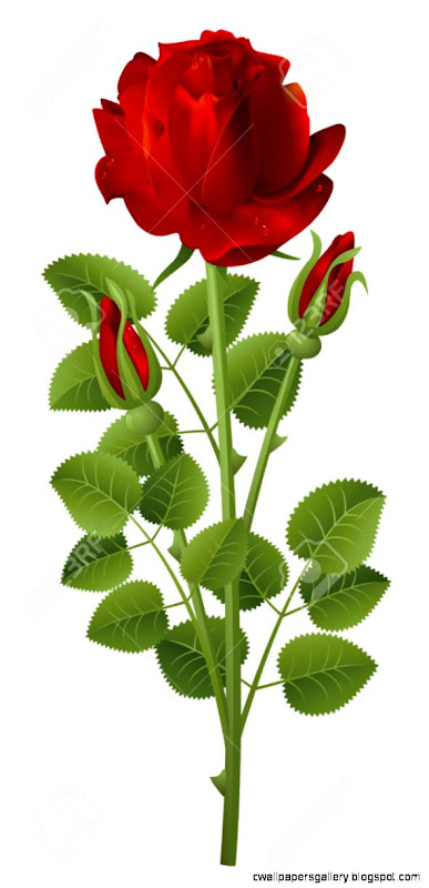 Red Rose On A White Background Royalty Free Cliparts Vectors And