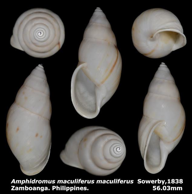 Amphidromus maculiferus maculiferus 56.03mm