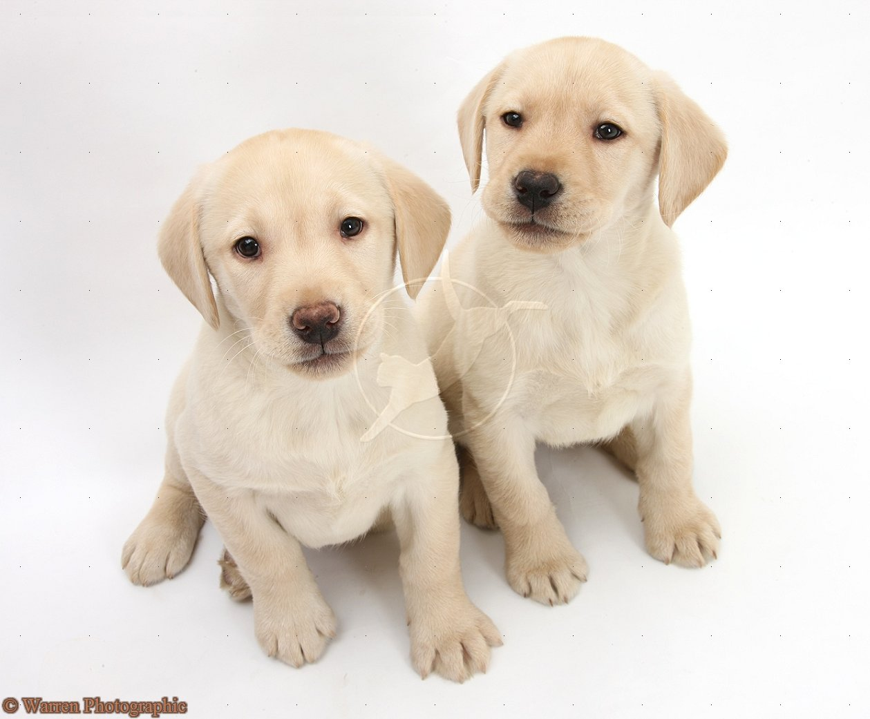labrador retriever puppiesWhite And Yellow Labrador Retriever
