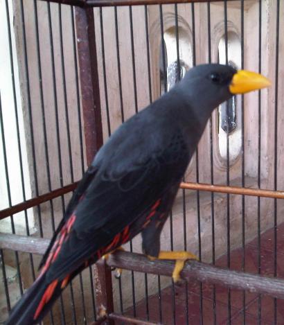 Kicau Suara Burung Rio Rio