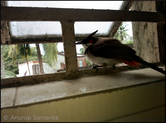 Bulbul Nestlings are ready to leave their Nest