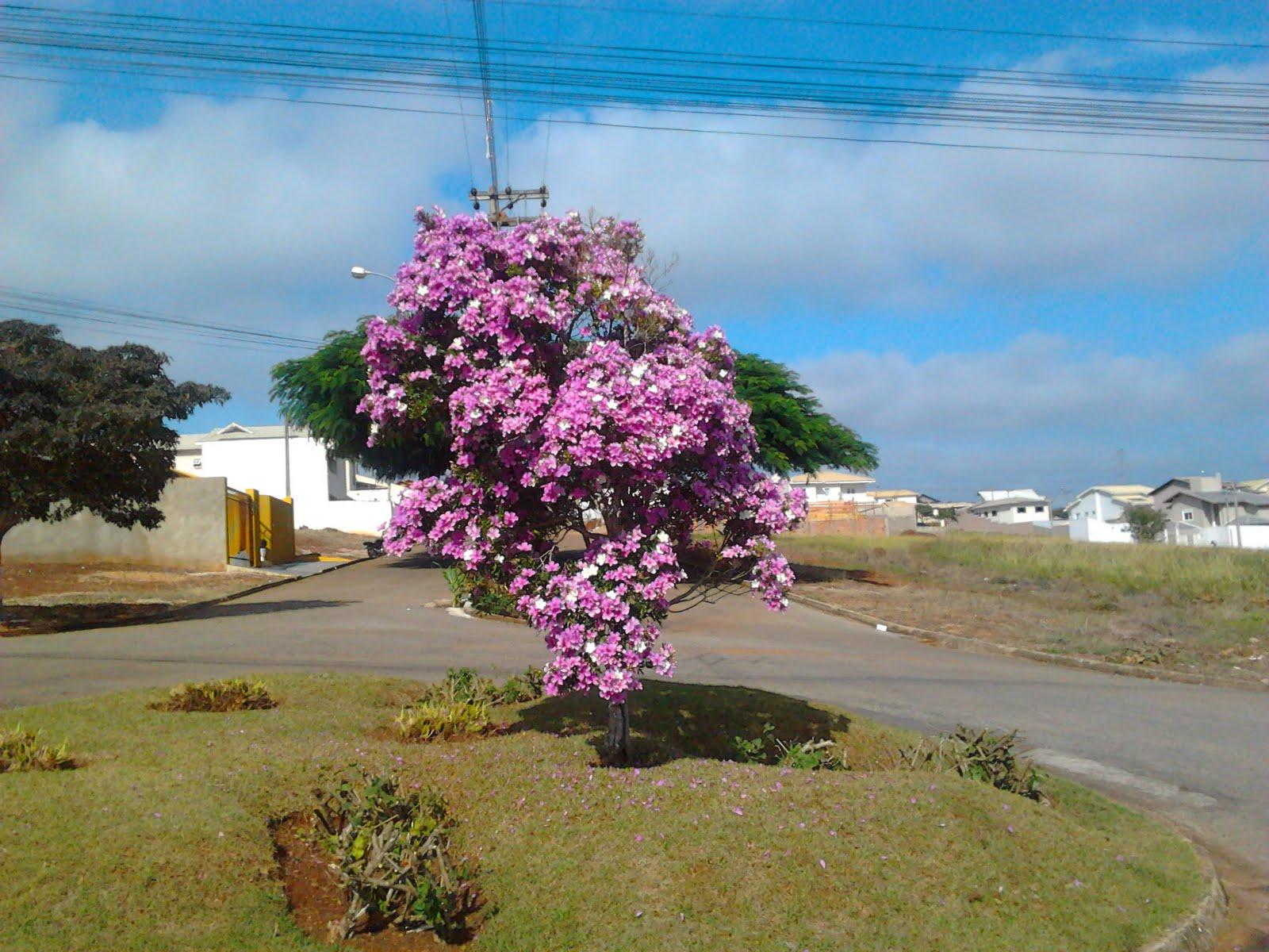 arvore manaca jardim : arvore manaca jardim: Blog de Itapeva: Manacá em flor, no Jardim Ferrari 3, Itapeva(SP