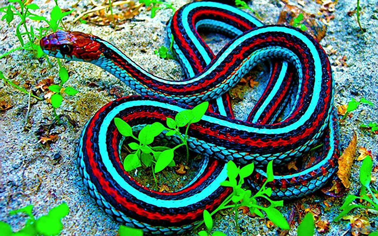 http://3.bp.blogspot.com/-bCTWjDNp23k/UO6KFUMG5sI/AAAAAAAACzI/cfcrAcUDQKQ/s1600/red+blue+anacond+snake+hd+wallpaper.jpg
