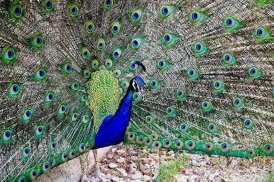Peacock at Radha Madhav Dham where the upcoming family camp is taking place