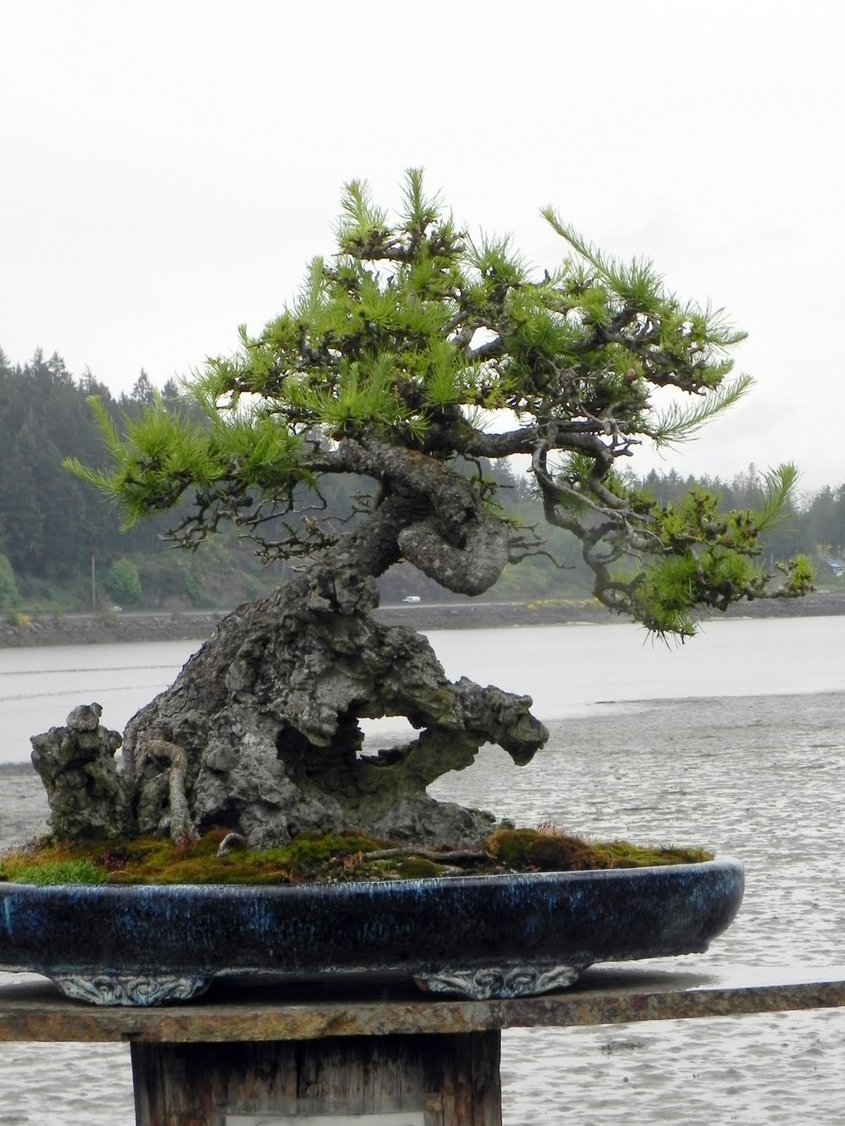 Gone Walkabout 2 Bonsai In The Pacific Northwest
