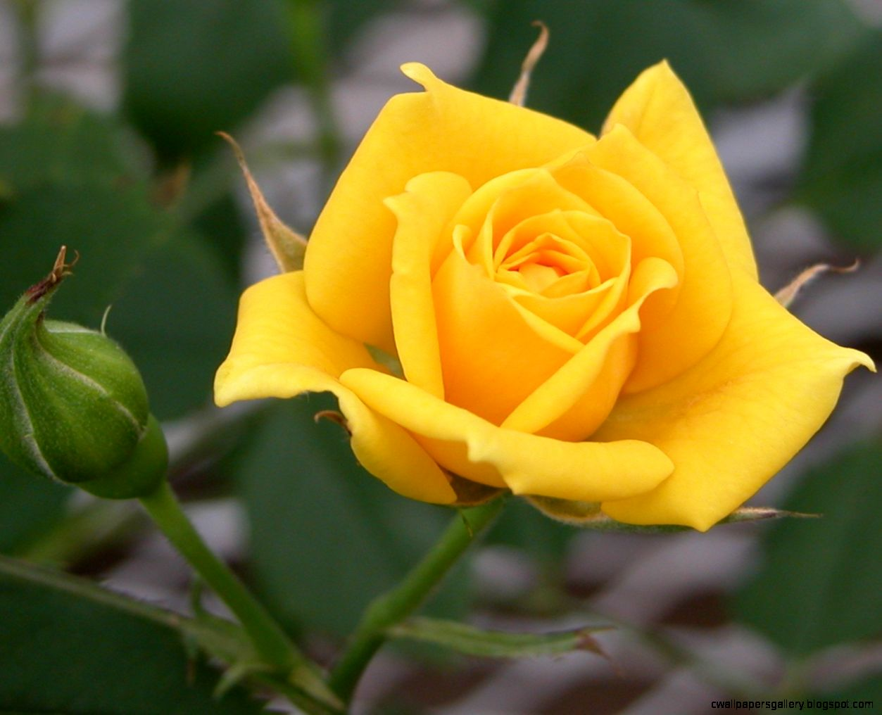 Picture Of Yellow Roses Flowers   Flowers Ideas
