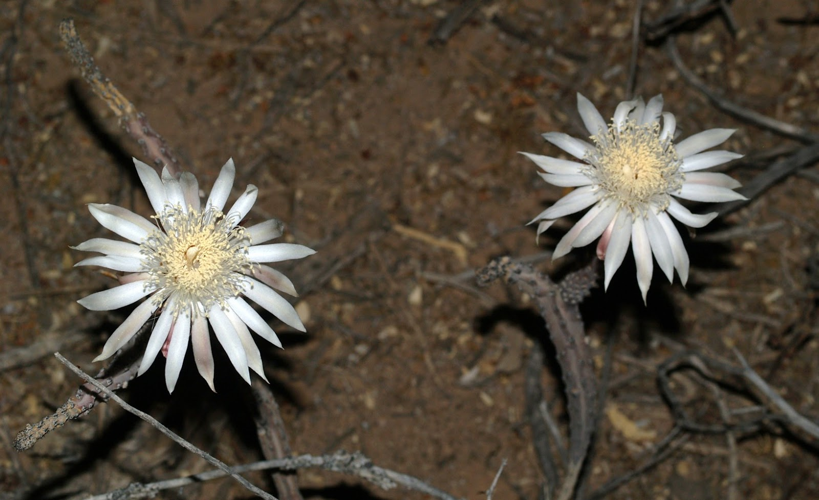 Arizona Beetles Bugs Birds And More Queen Of The Night Bloom