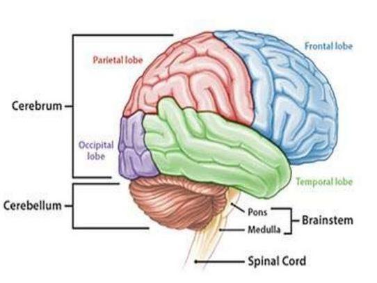the main characteristics of the human brain