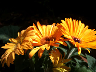 close up of yellow gerbera threesome