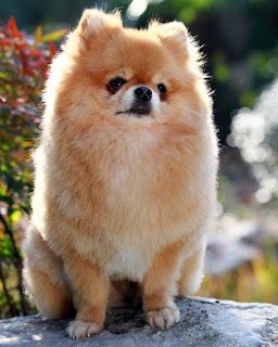 Cute Pomeranian Puppies Pics