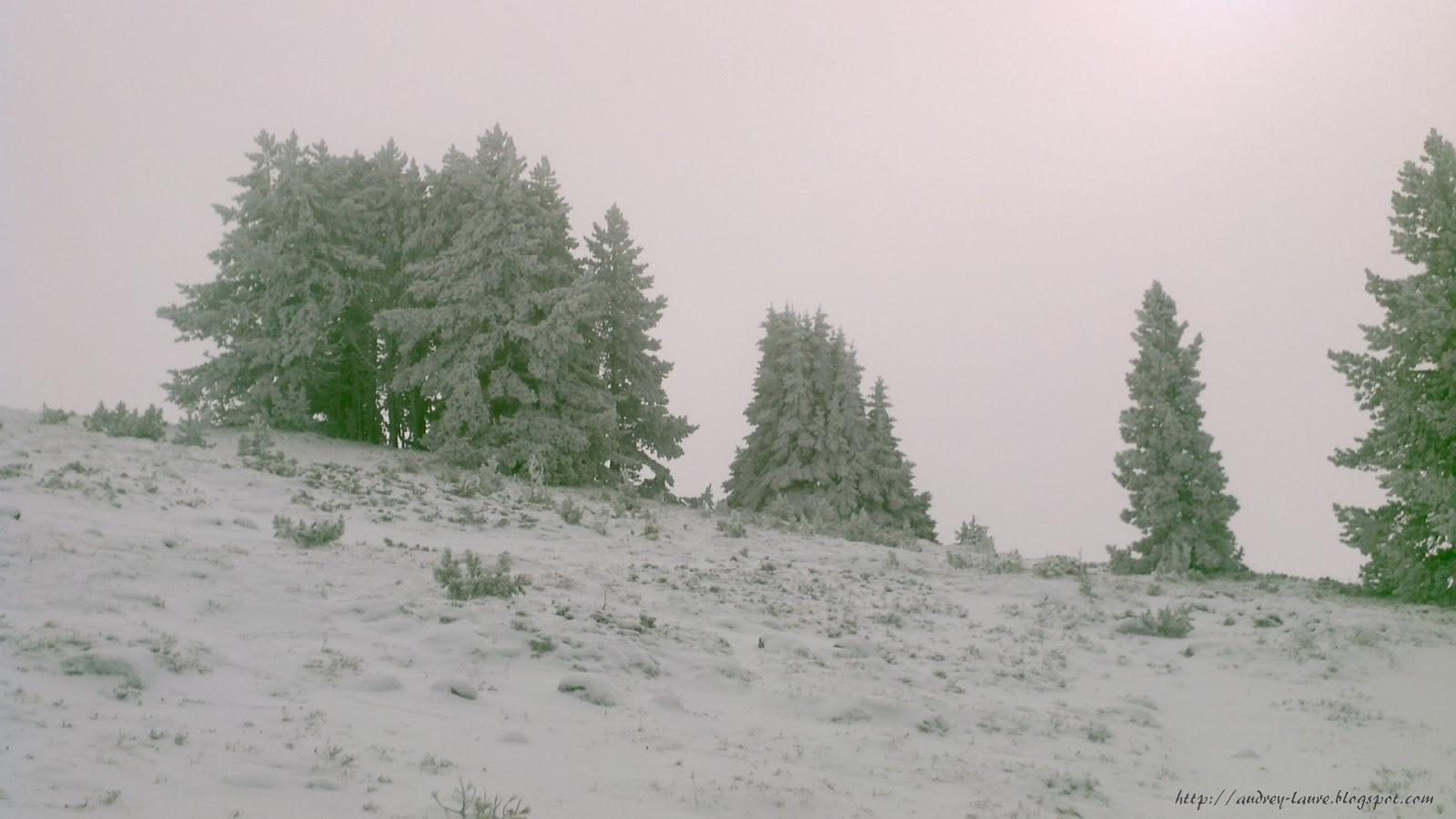 arbres enneigés
