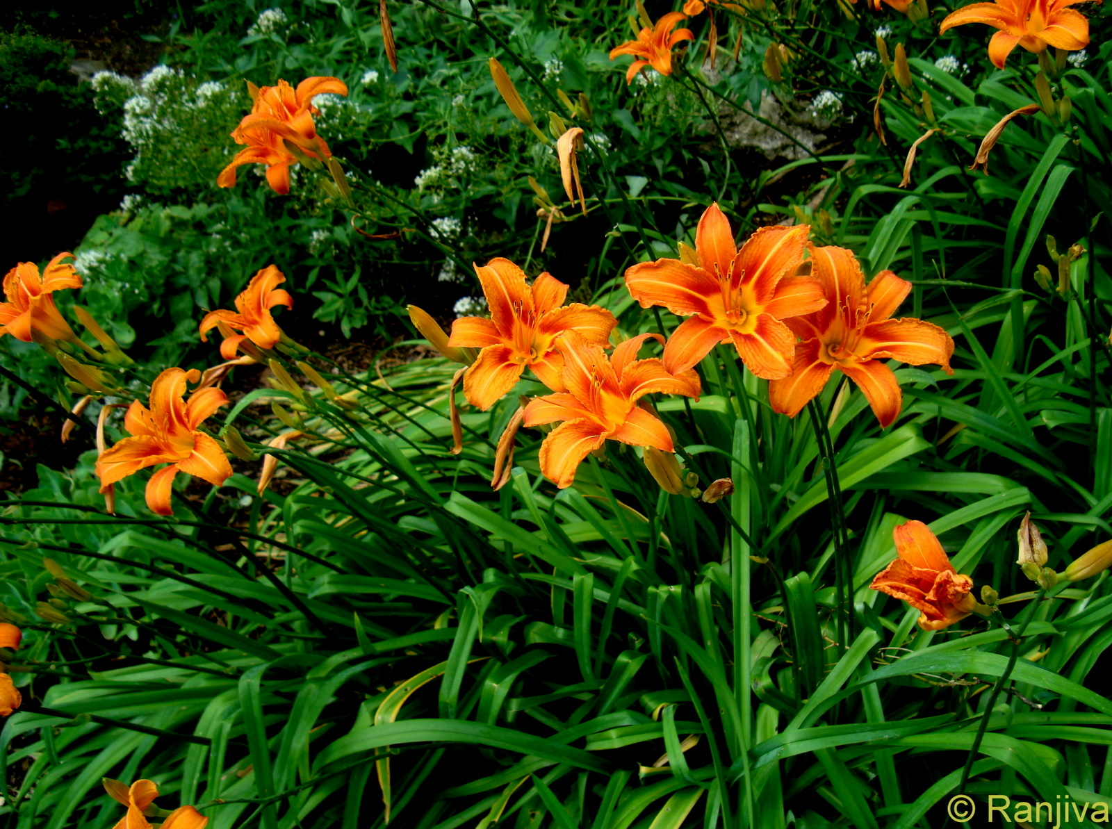 mais les lys l\u0027ont été tout autant, les grecs considéraient cette fleur  comme la fleur des fleurs car elle est l\u0027emblème de la création universelle.