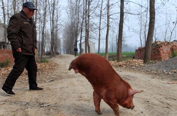 свин гетры фото китаянки