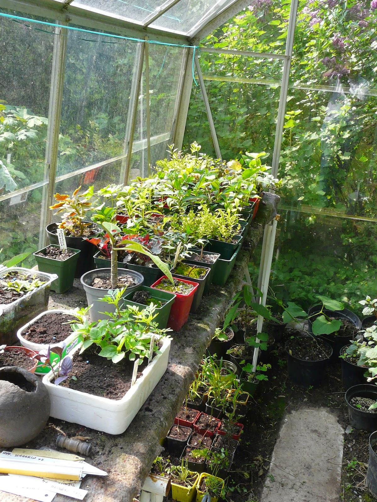 Le jardin de daphn e la multiplication au jardin de daphn e - Bouture de l hibiscus de jardin ...