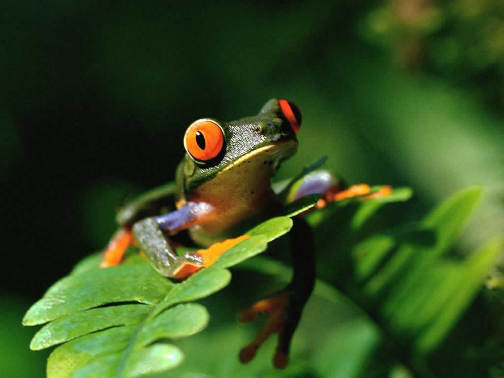 Free high definition wallpapers colorful frog wallpapers and backgrounds free download - Funny frog pictures ...