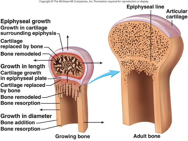 what is the relationship between ossification and epiphyseal plate