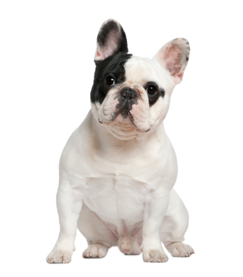 ra u00e7as de c u00e3es bulldog franc u00eas   s u00f3 c u00e3es e cachorros rottweiler clip art black and white rottweiler clip art black and white