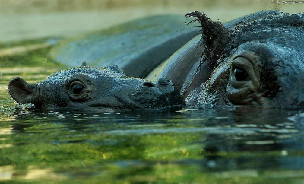 Hippopo kid and his mother in the pond zoo of Berlin, Germany