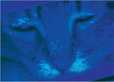 Kiểm tra ánh sáng WOOD với một con  mèo có dương tính với dermatophytosis kết quả phát huỳnh quang.