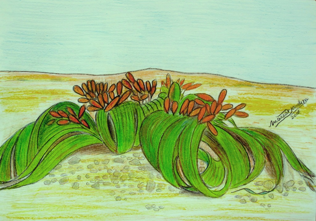 Welwitschia by me