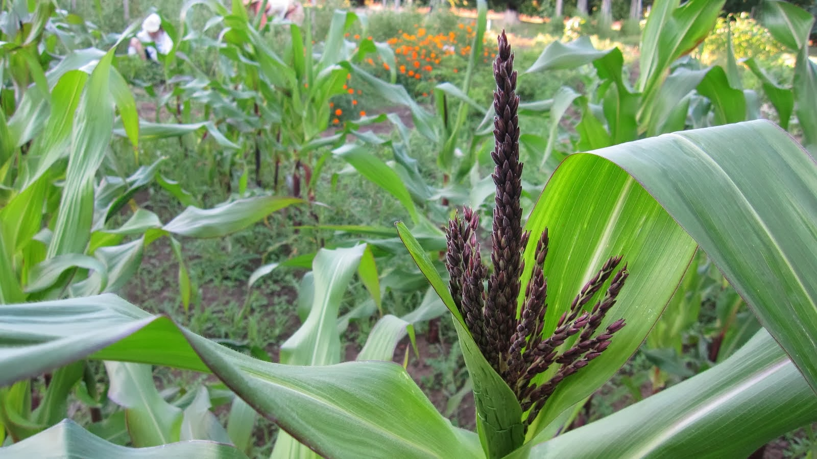 Double Red Sweet Corn flowering