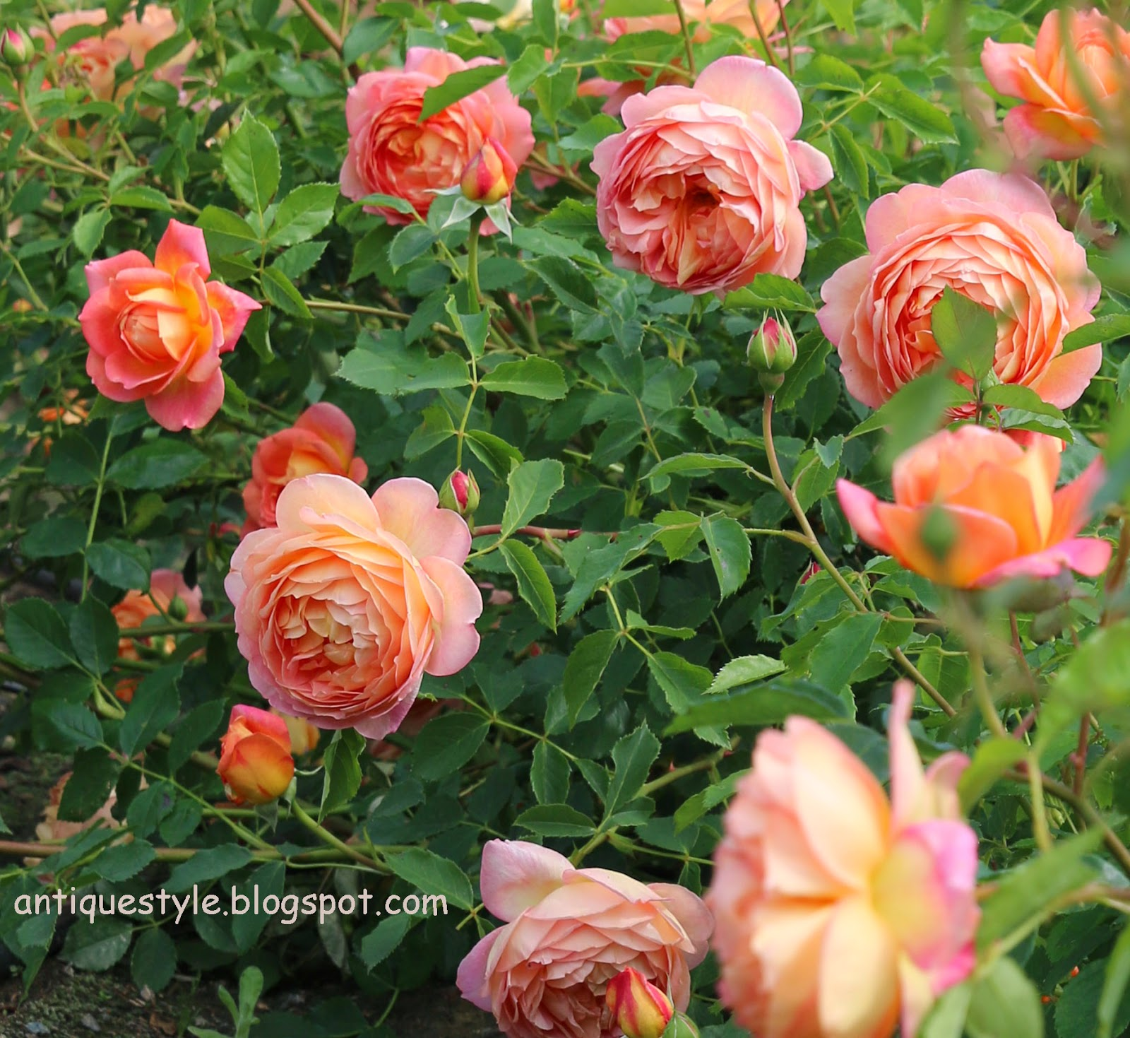 lady of shalott rose - photo #5