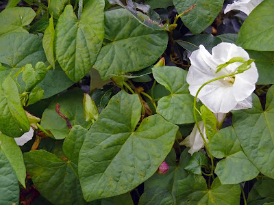 Bearbind (Convolvulus Sepium) Overview, Health Benefits, Side effects