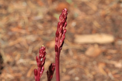 Corallorhiza, either maculata (coralroot) or mertensiana (pacific coralroot)