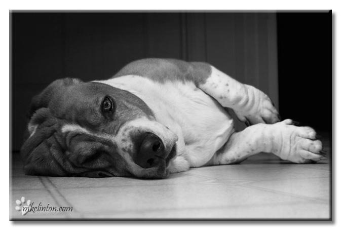 Basset resting