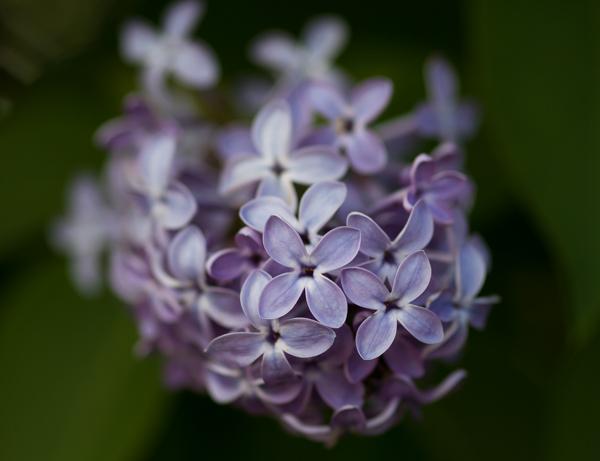 PauMau blogi nelkytplusbloggari nelkytplus puutarha vanha pihapiiri violetti sireeni kukkii syreeni kukkakuva pieni kukka tuoksu