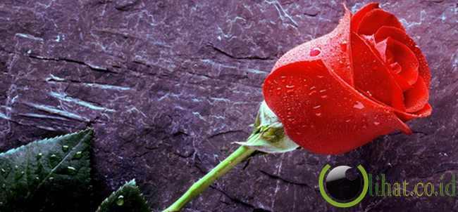 Bungan mawar
